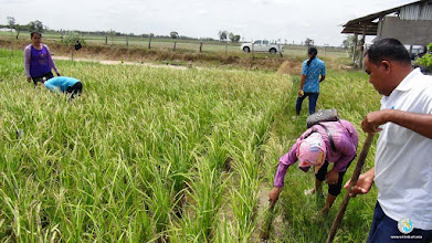 Photo: Farmer taking records of the data from the field, TOT 3, Tha Tum , Surin