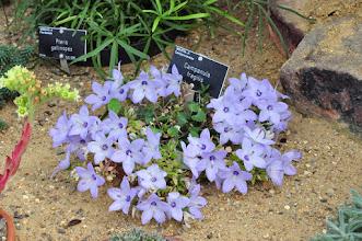 Photo: Campanula fragilis - RHS gardens Wisley