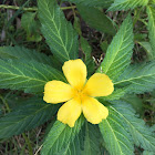 Damiana (Ramgoat Dashalong)