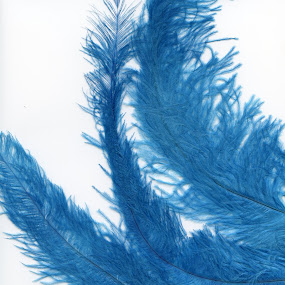 Feathers by Laura Stiers - Nature Up Close Leaves & Grasses ( color blocking, blue, elegant, feathers, scanner )