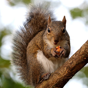 Squirrel Stare by Mike Vaughn - Animals Other Mammals ( lafreniere park, metairie, louisiana, squirrel,  )