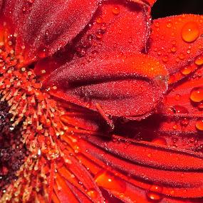 Morning Dew by Rachel Startin - Nature Up Close Flowers - 2011-2013 ( macro, gerbera, flower )