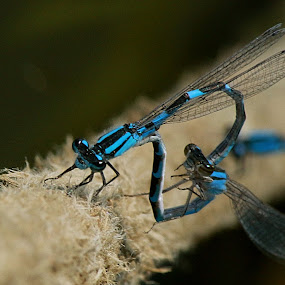 Odonata by Michel Lapensée - Animals Other ( dragonfly )