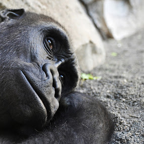 day-dreaming by Jarka Vojtaššáková - Animals Other Mammals ( mammals, animals, gorilla, close up )