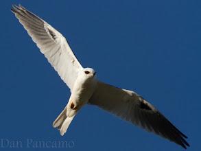 Photo: White-tailed Kite