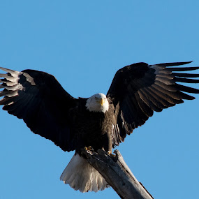 Eagle has Landed by Greg Johnson - Animals Birds ( spread eagle, eagle, landing, wings, bald eagle,  )