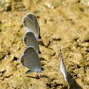 Common NameEastern Tailed-Blue (Everes comyntas)