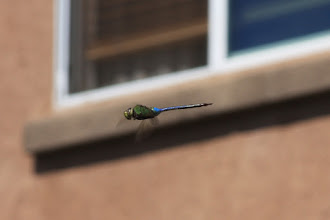 Photo: Does this even qualify for #FlyByFriday? Anyway, thanks to +Jan Lindenberg for making me post this. Not a particularly great shot, but that beast taunted me in the backyard, so I had to quickly snap a picture before it zoomed away.