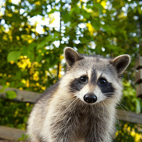 Curios Raccoon by T.J. Wolsos - Animals Other Mammals ( wild animal, racoon, peeking, raccoon, animal )