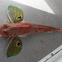 Pacific Red Gurnard