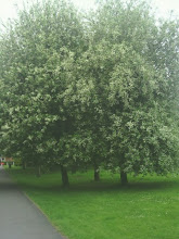 Photo: Some humungous blossoming trees just off Prospect St at the Tesco recreational cut thru.