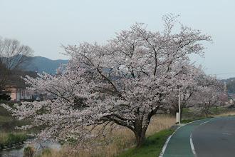 田原川沿いの桜