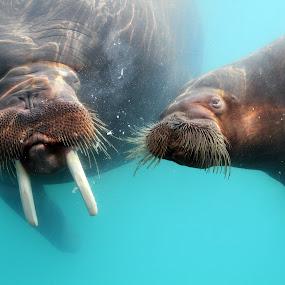 Curious walrus by Nancy Chan - Animals Other Mammals ( underwater, walrus )