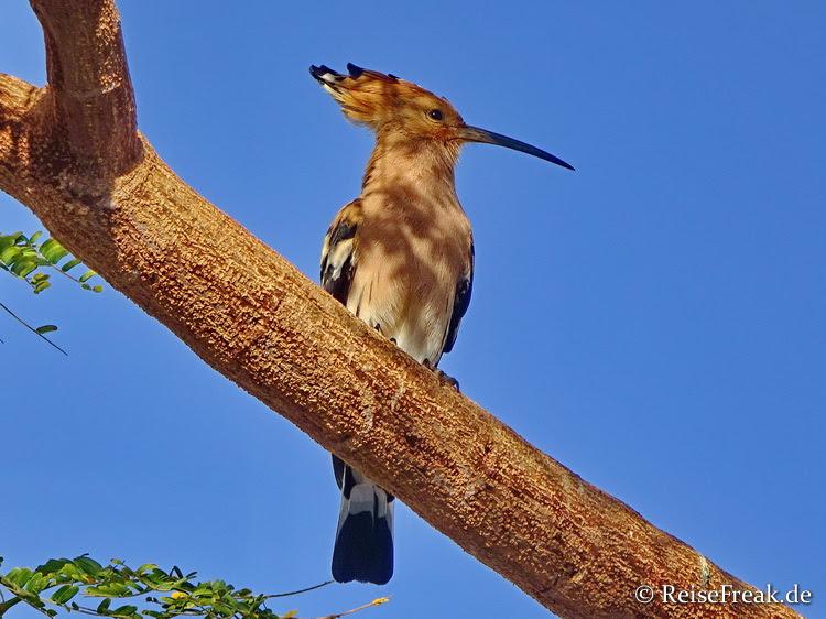 """Huh-Puh: Auf dem Gelände leben einige Vögel mit Namen """"Wiedehopf"""" (in Südafrika """"Hoopoe"""") genannt"""