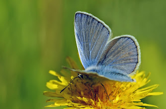 Photo: Argus bleu, Polyommatus Icarus, Common Blue  https://www.facebook.com/macro.photography.butterfly