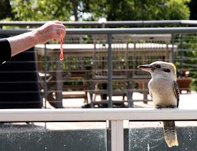 Photo: Year 2 Day 151 - Feeding the Kookaburra