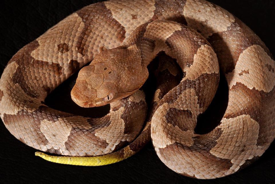 Southern Copperhead, Viper, Poisonous, Reptile