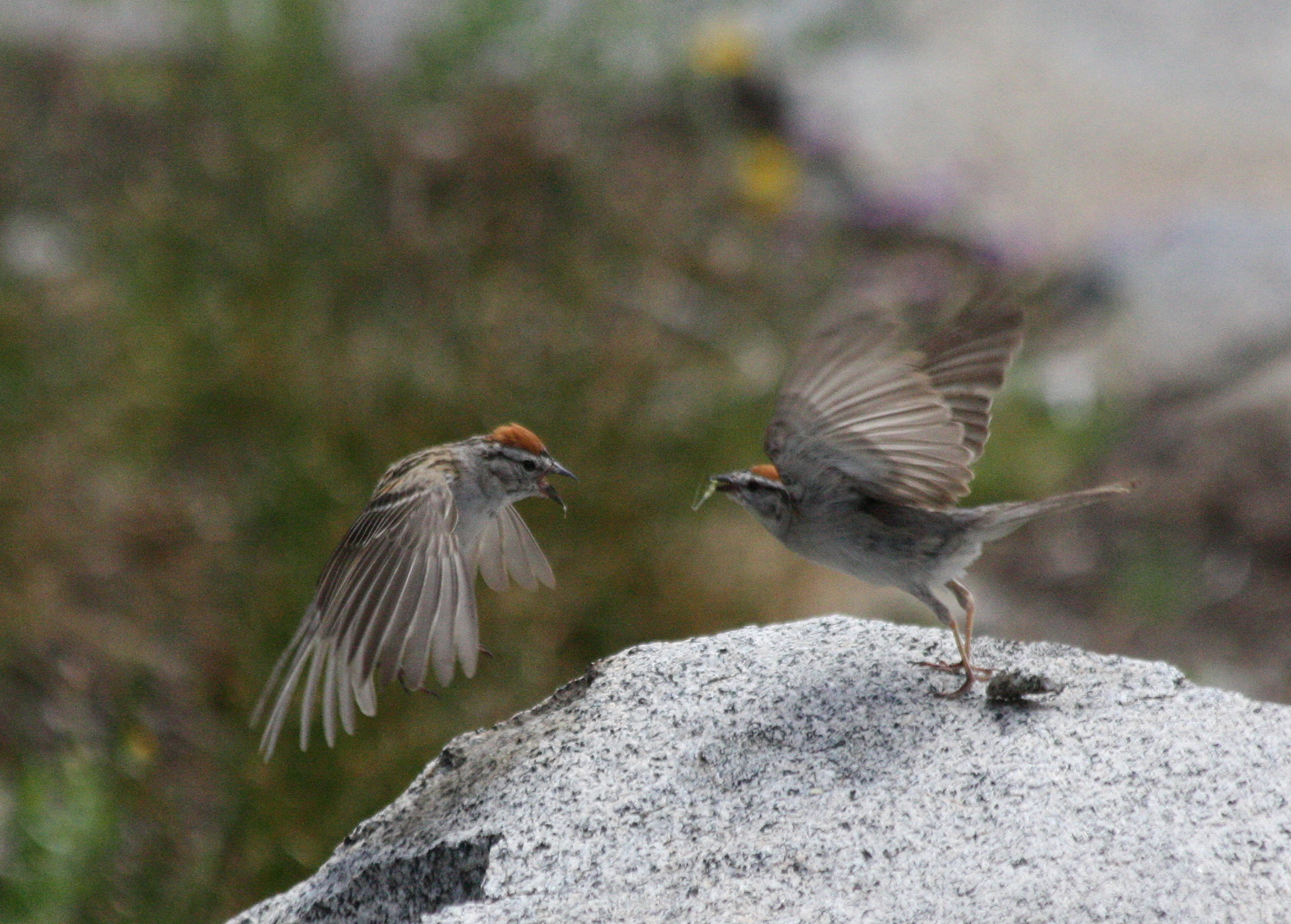 Photo: Chipping Sparrows