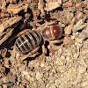 Potato Bug or Jerusalem Cricket