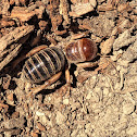 Potato Bug or Jerusalem Cricket