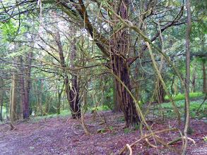 Photo: Yew trees