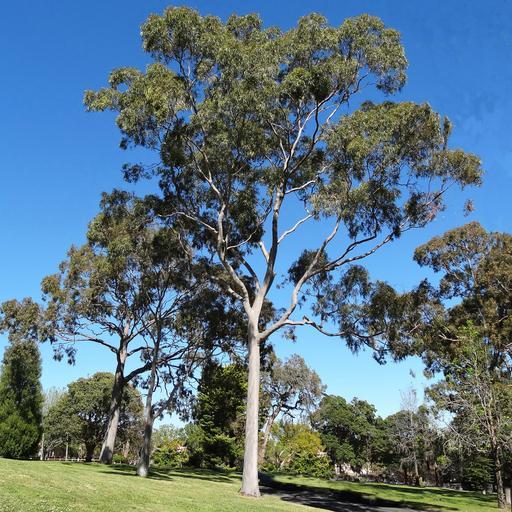 Australian Tree ID