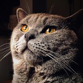 British Shorthair Cat by Darren Wilmin - Animals - Cats Portraits ( cat, british blue, british, lunar, shorthair )
