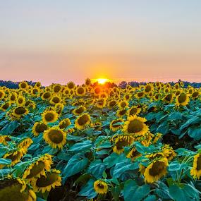 Setting sun by Joe Machuta - Flowers Flower Gardens