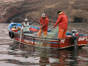 Photo: Hauling in anchovies