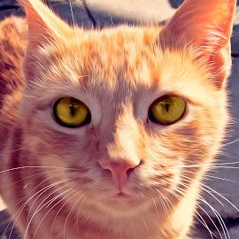 Cat by Florentina  Arvanitaki - Digital Art Animals ( cat face, cat, animal, cat closeup, cute, beautiful cat )