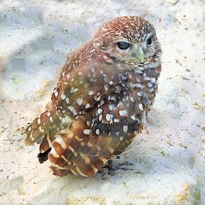 little owl (4)P.jpg