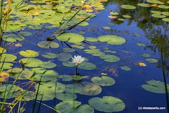 Photo: Lily pads at Bomoseen State Park by Bob Ricketson