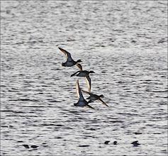 Photo: Bird N°44 Scaup - .... .... ... ... Latin: Aythya marila