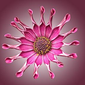 OLI gazenia 01 by Michael Moore - Flowers Single Flower (  )