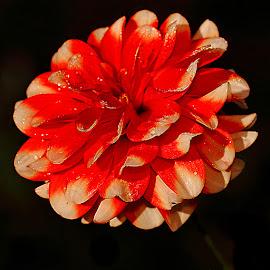 Dalhia n000257 by Gérard CHATENET - Flowers Single Flower