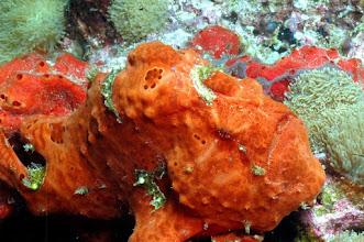 Photo: #010-Antennaire orange (Frogfish) (photo de Michel EDME)