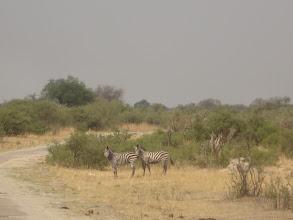 Photo: Zebras come towards the waterhole.