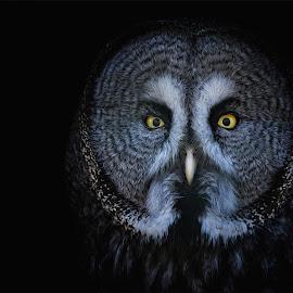 Great grey owl by Ondřej Chvátal - Animals Birds ( beak, natural, owl, nature, bird of prey, falcon, black, yellow, portrait, great, look, eyes, cute, grey, detaul, feathers, background, bird, czech,  )
