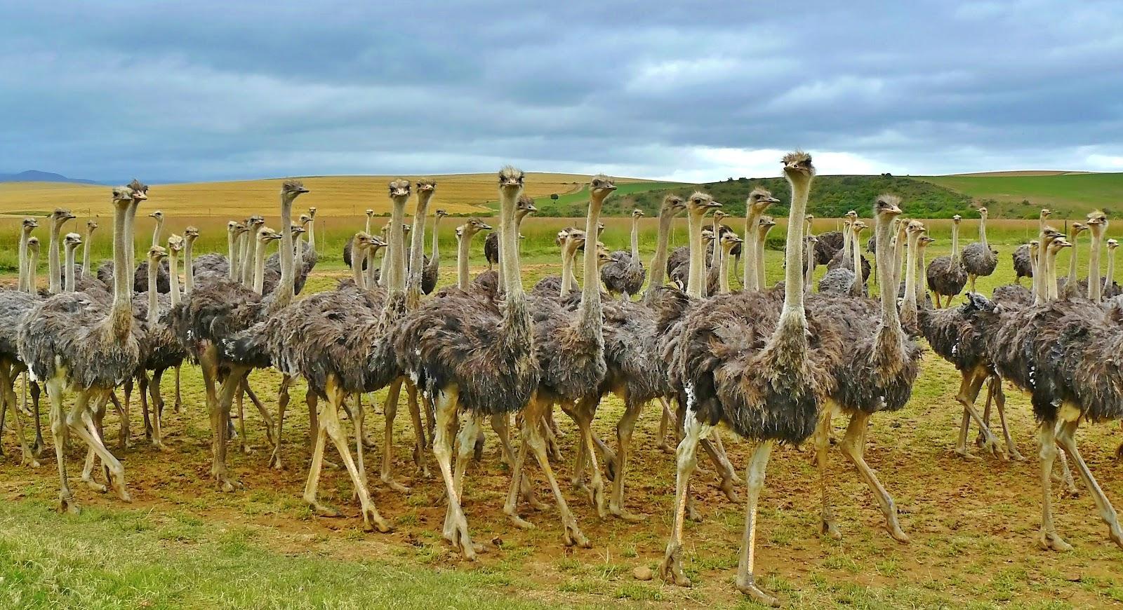 ostriches-838976.jpg