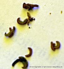 Photo: Larven von einem anderen Insekt. Handelt es sich nur um eine Nestraub, wobei es nur um das sichere Nest geht? Denn die Insassn werden nicht verzehrt.