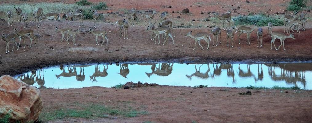gazzelle allo specchio di Andrea_116