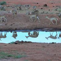gazzelle allo specchio di