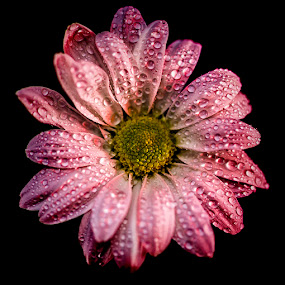 Daisy by Roger Fanner - Nature Up Close Flowers - 2011-2013 ( red, roger fanner, daisy, pink, flower )