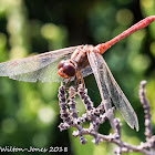 Southern Darter