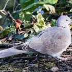 Collared Dove