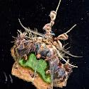 Emeraldine Moth