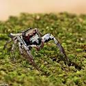Ptocasius Spider