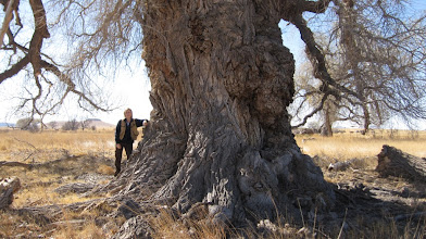 Photo: ....This trip also took us to Fort Davis for a remeasurement of our national champion Rio Grande cottonwood (Populus deltoides ssp. wislizeni) -- just one month before the infamous Rockhouse fire destroyed it....