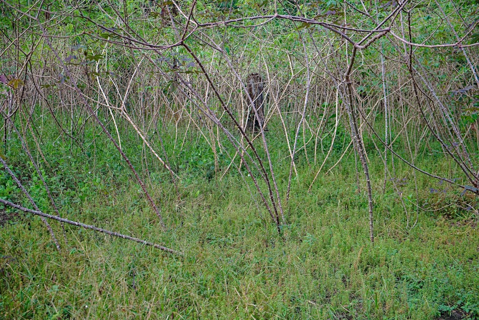 Maniok w Amazoniii