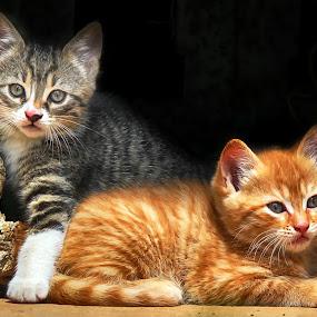 by Kristijan Siladić - Animals - Cats Kittens